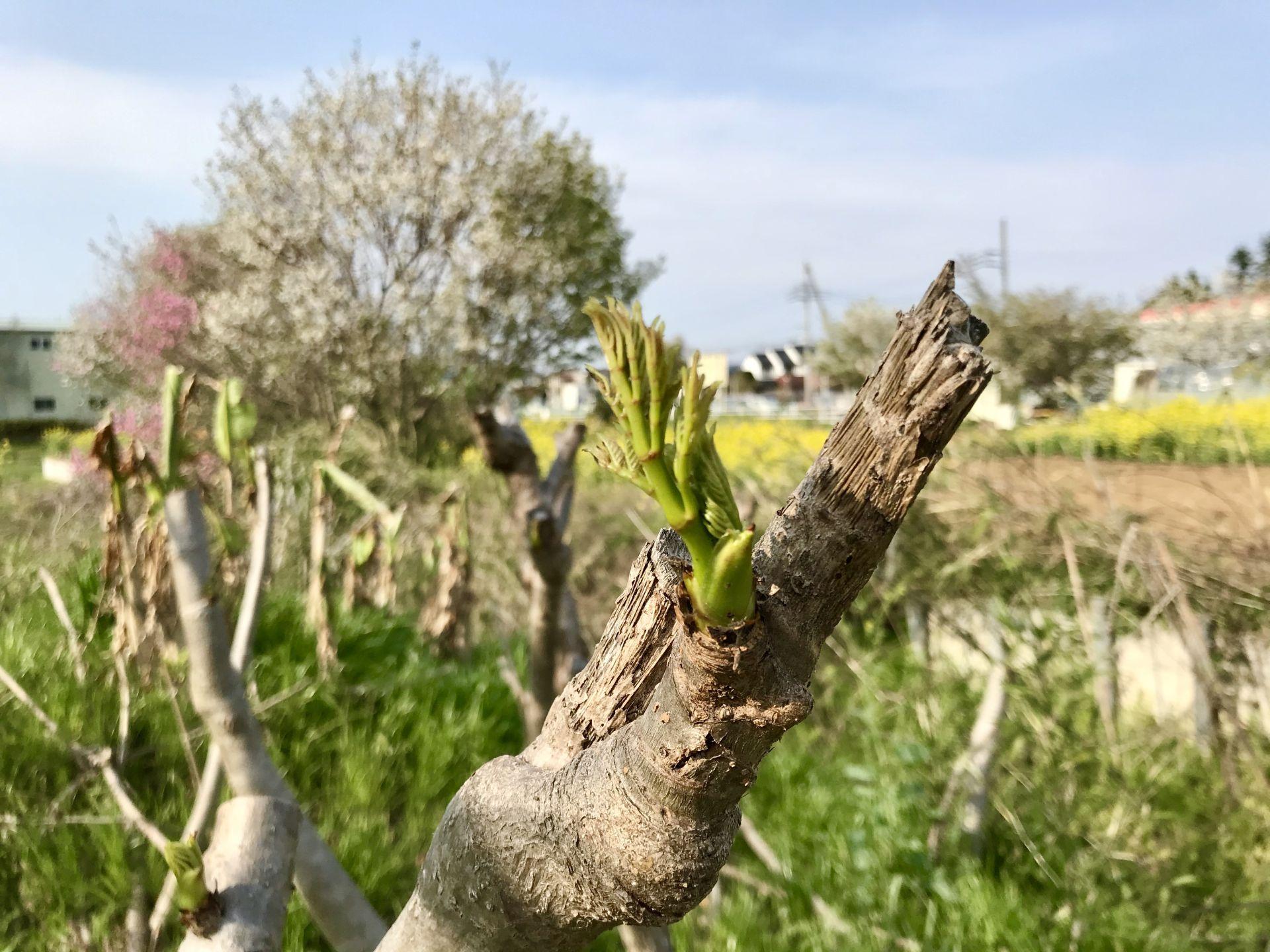 畑のタラノキからタラの芽