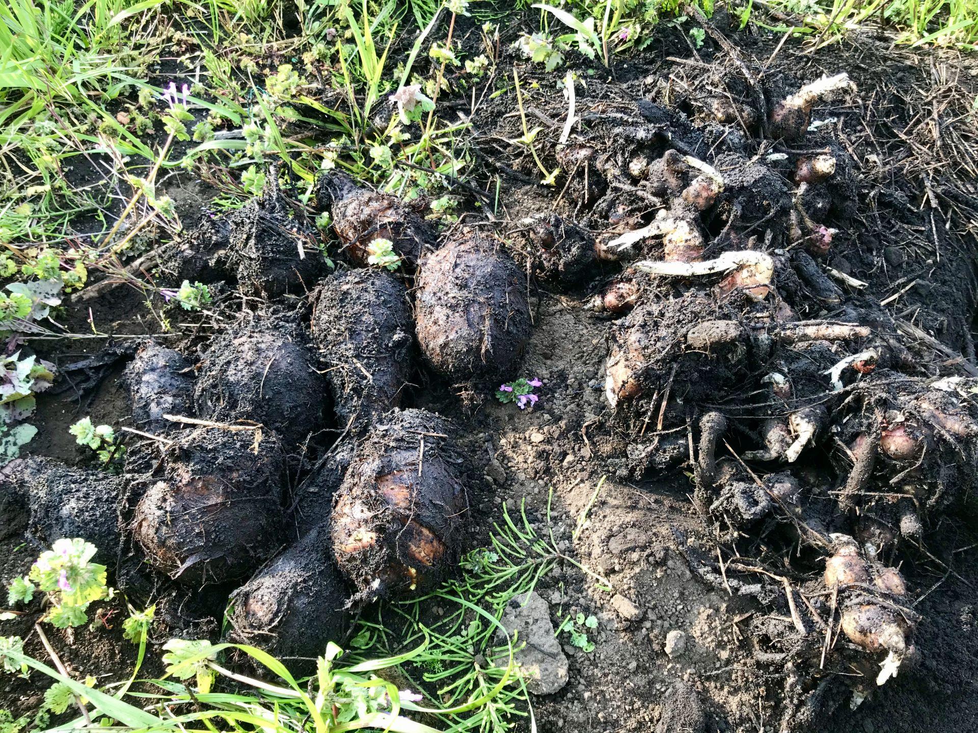 地中から掘り出したヤーコンの塊茎と里芋