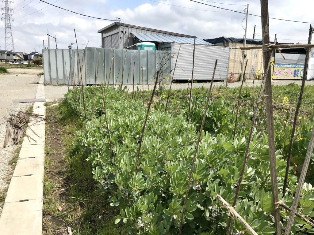 急に伸び始めた赤そら豆。柵を作っています