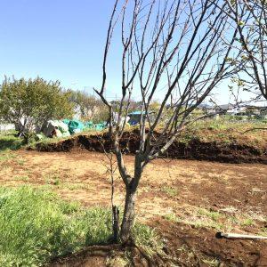 台風で倒れてしまった柿の木を救いました♪