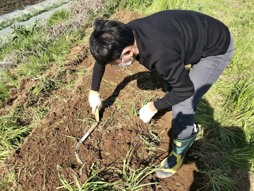 ヤーコンを植えるために穴を開けています