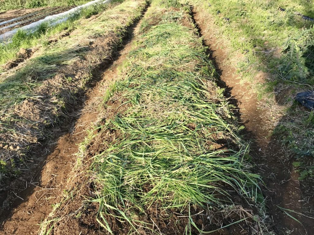 ヤーコンを植え終わり、上から刈った草をかぶせました