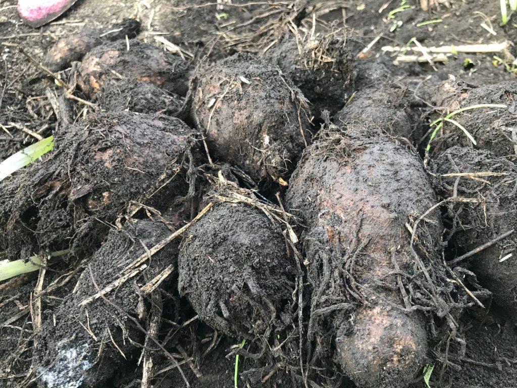 地中保存していた里芋を掘り出しました