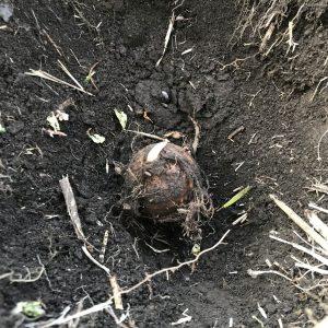穴に里芋を埋めたところ