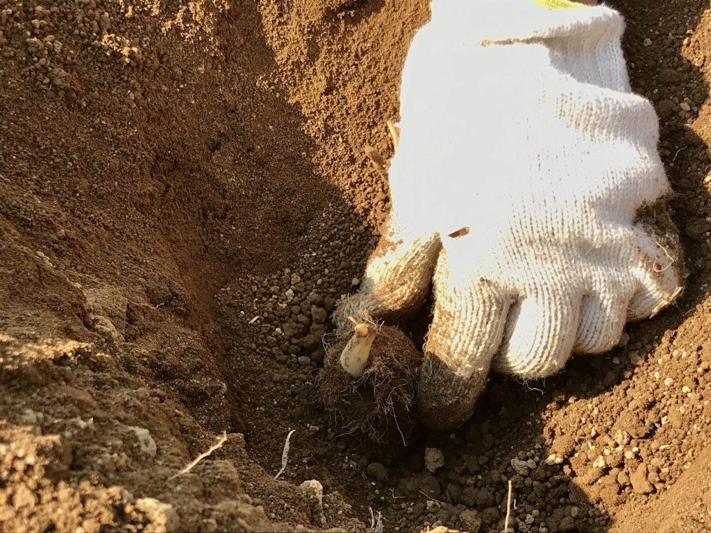 里芋の種芋を埋めるところ
