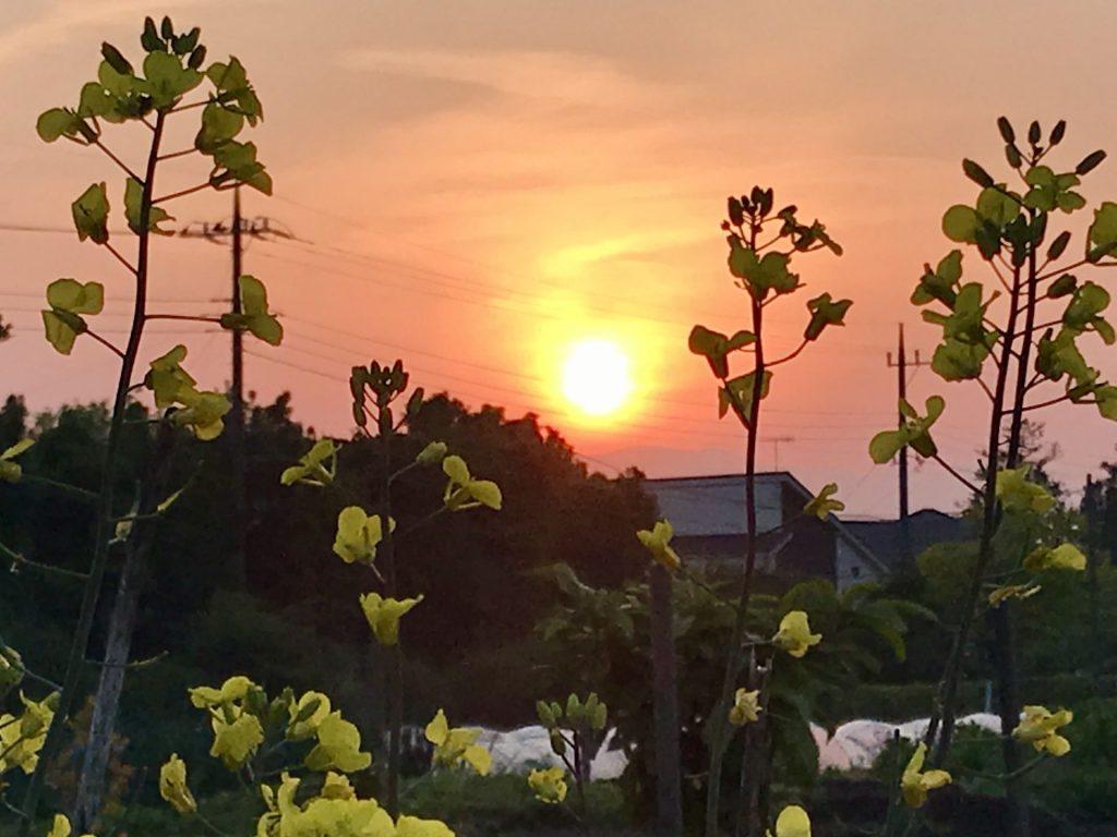 夕日をバックにのらぼう菜の花