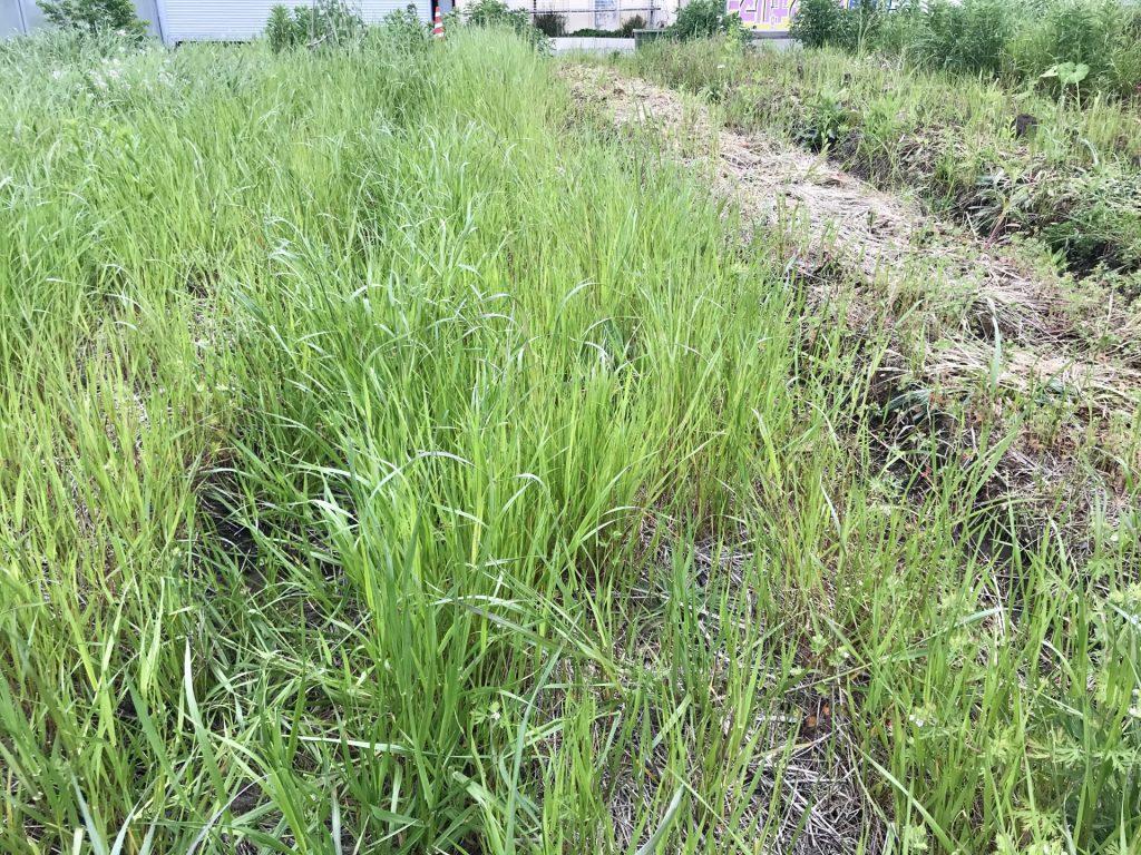 草刈りをする前の畝の状態です。