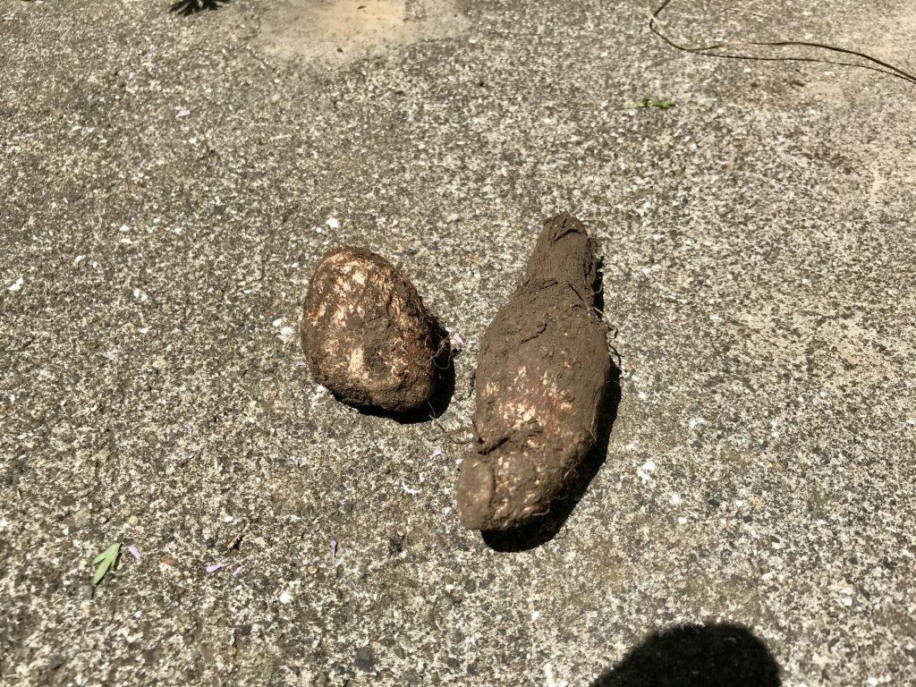 里芋の種芋2つ